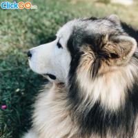 Black Rock Garden Đà Lạt - Mô hình trang trại chó Alaska đầu tiên ở Đà Lạt