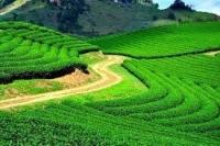 Đồi chè Đông Giang- Quảng Nam địa điểm du lich thú vị