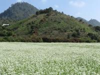 Top 5 địa điểm check in cùng hoa cải trắng đẹp lung linh tại Mộc Châu